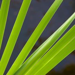green leaves of sedge cane