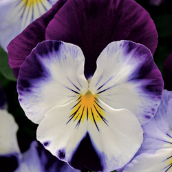 pansy_3