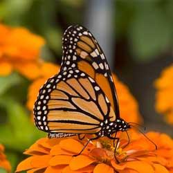 backyard-butterfly-2