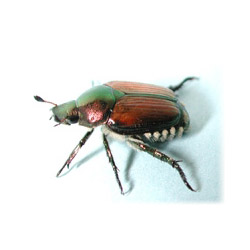 beetle-mania-1