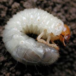 beetle-mania-2