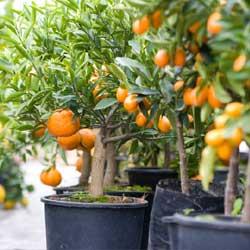 citrus_1