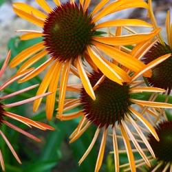 crazyconeflowers3