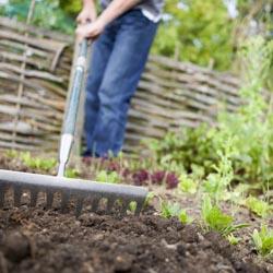 Gardener Preparing Raised Beds in Vegetable Garden With Rake