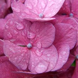endless-summer-hydrangeas-1