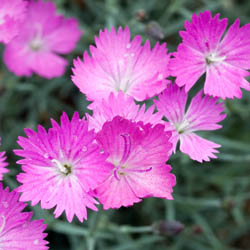 Close up of Dianthus Plant Background