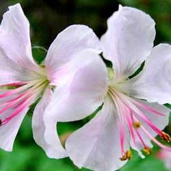 geraniumbiokovo