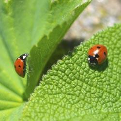 ladybirds (3)