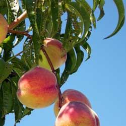 peach_leaf